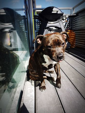Enjoying the sun with my mom 💜☀️ Can't Live Without Staffordshire Bull Terrier Mylittleprincess Mydogiscoolerthanyourkids Lookatthatface Cutenessoverload Enjoying The Sun Lovemydog Staffylove Ilovemydog