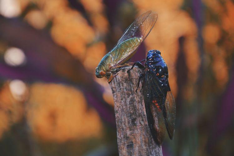Close-up of cicadas on wood