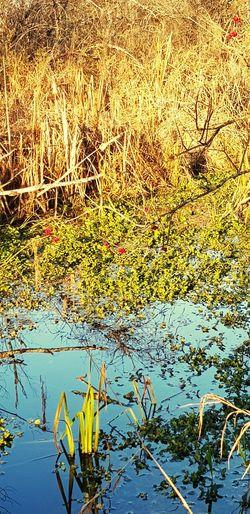 Water Lake Lily