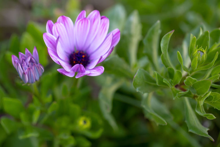 Purple flowers of the African daisies. Osteospermum. Green Purple Petals Veins Leaves Darker Marked Mauve  Protruding Tuft Garden Nature Plant Bush Flora Flower Macro Natural Petal Summer Beautiful Blossom Botany Colorful Spring Bloom Brushlike Protection Closeup Single Flowering Plants Solitary Leaf Background Environment Blooming Color Vegetation Springtime Close Botanical September African Daisies Osteospermum My Best Photo
