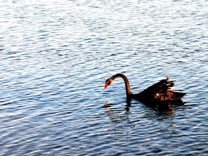 Bird Swan Water Swimming Black Swan Sea Life Lake Rippled Animal Themes Swimming Animal Freshwater Bird Wild Animal Duck