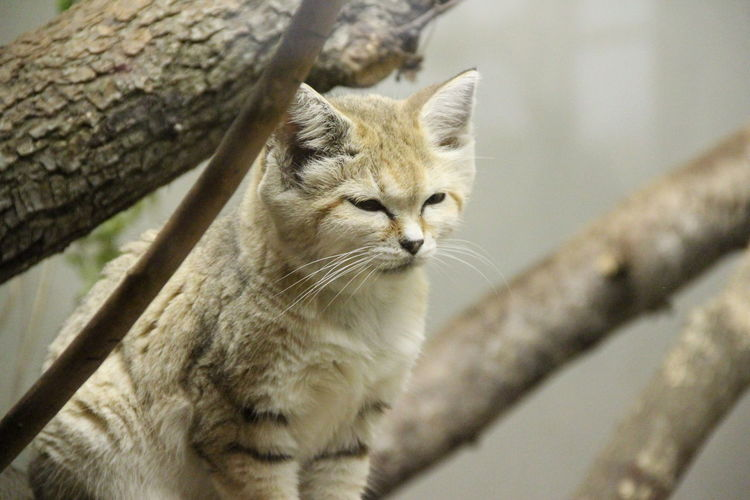 Low angle view of sand cat on tree at zoo