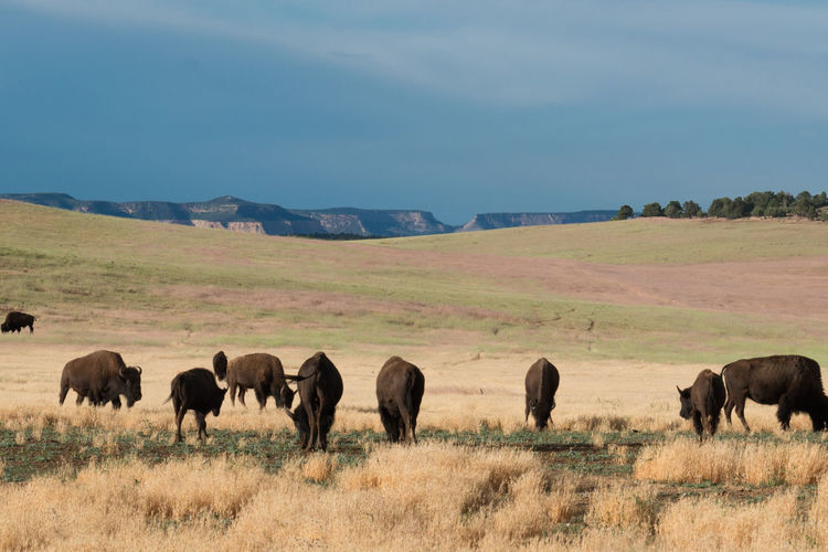 American bison on grazing on field