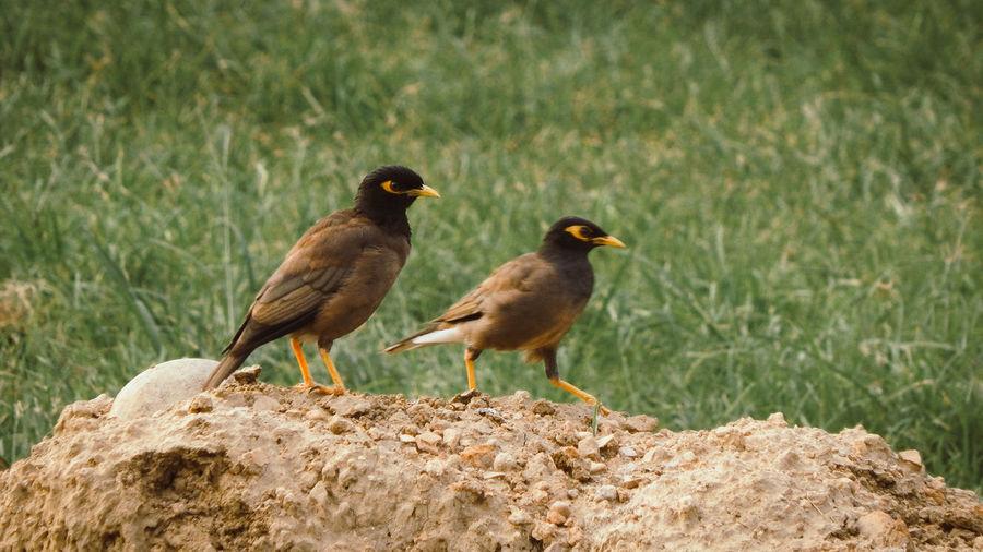 Jack & Jill Sparrow Sparrow Mobilephotography Motorola Motog4plus Bird Perching Young Animal Young Bird Animal Themes Grass Close-up