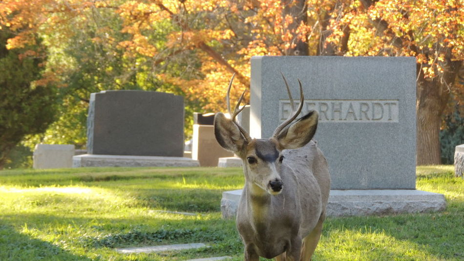 Cemetery Deer Fall Colors Fall Collection Grave Everhardt Fall