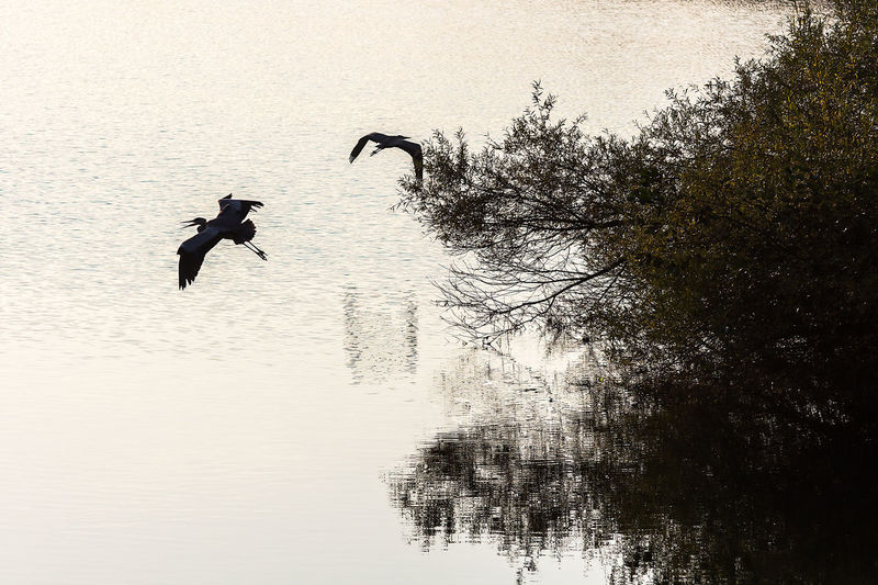 Animal Themes Animal Wildlife Animals In The Wild Bare Tree Beauty In Nature Bird Day Flying Full Length Jumping Lake Motion Nature No People Outdoors Reflection Silhouette Spread Wings Tree Water Waterfront