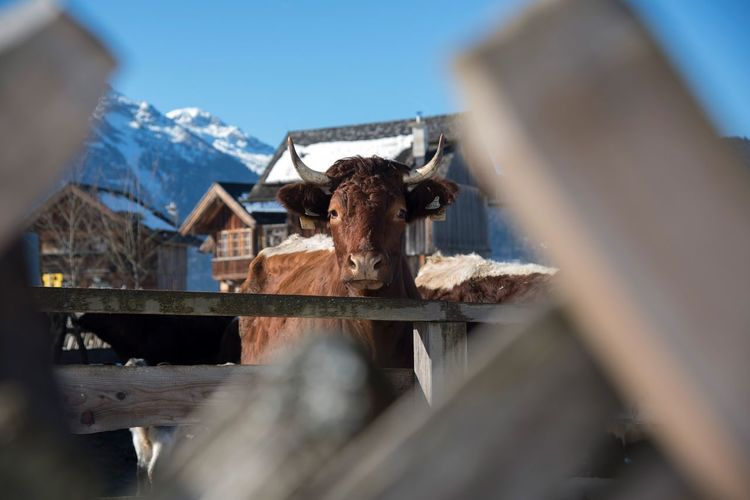 Portrait of cow standing at farm during winter