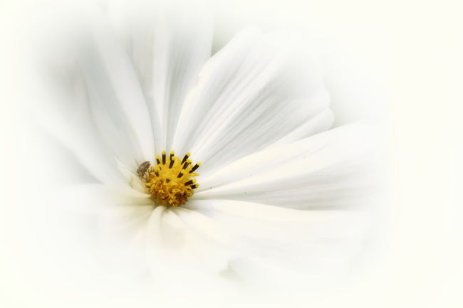 A lovely, white Cosmos blossom is made soft and gentle with enhancements. Beauty In Nature Blooming Blossom Botany Cosmos Elégance Enhance Floral Flower Flower Head Fragility Freshness Garden Gentle Growth In Bloom Macro Manipulated Nature Petal Pollen Single Flower Softness Springtime White