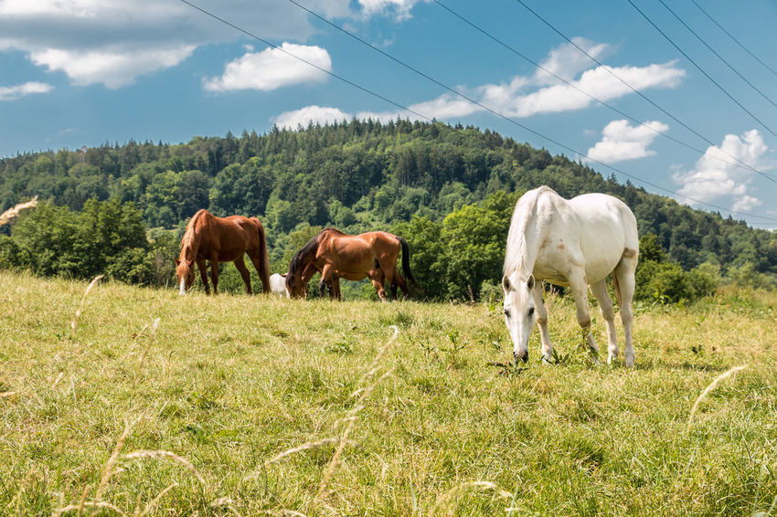 Horses on the green meadow Agriculture Animal Animal Themes Cloud - Sky Cow Domestic Domestic Animals Field Grass Grazing Group Of Animals Herbivorous Land Livestock Mammal Nature No People Pets Plant Sky Vertebrate