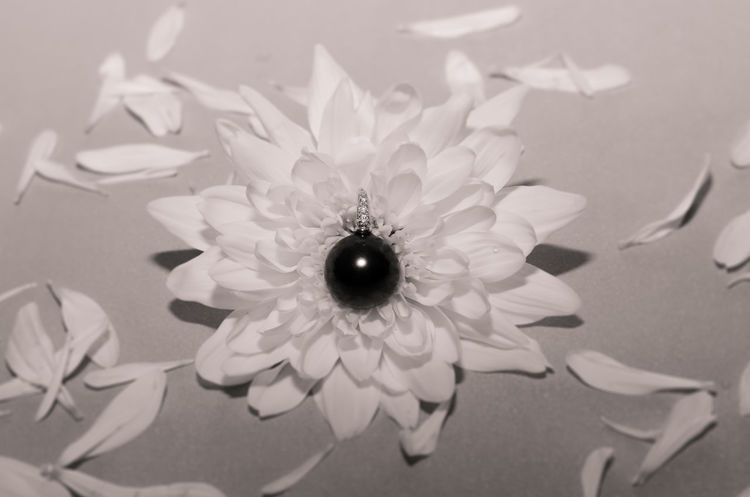 Black pearl on chrysanthemum flower Black Black And White Black Pearl Blooming Chrysanthemum Close-up Conceptual Photography  Flower Flower Head Fragility Freshness Jewel Jewelry No People Pearl Petal Product Photography White