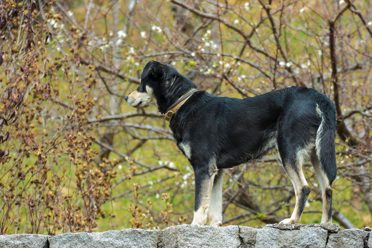 A curious black and brown dog over an old stone wall waiting for the master EyeEmNewHere Animal Themes Day Dog Domestic Animals Mammal Nature No People One Animal Outdoors Pets Tree