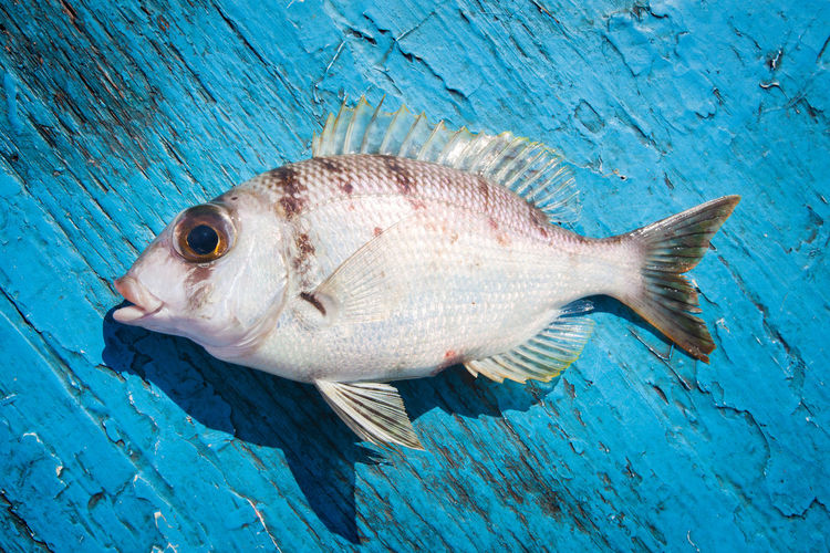 Animal Animal Themes Animal Wildlife Blue Blue Background Close-up Dieting Fish Food Food And Drink Freshness Full Length Marine No People One Animal Profile View Raw Food Sea Sea Life Seafood Vertebrate Water