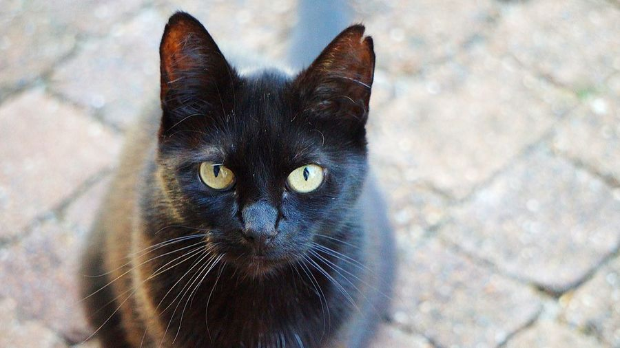 Mein täglicher Gast 🐱🐱 Lady In Black Neighbors Cat Cats Of EyeEm Friday Morning Beliebte Fotos Taking Photos Early Morning Cat Black Cat Visiting Scenics No People Pets Portrait Feline Looking At Camera Domestic Cat Yellow Eyes Black Color Eye Animal Eye Close-up Ear At Home