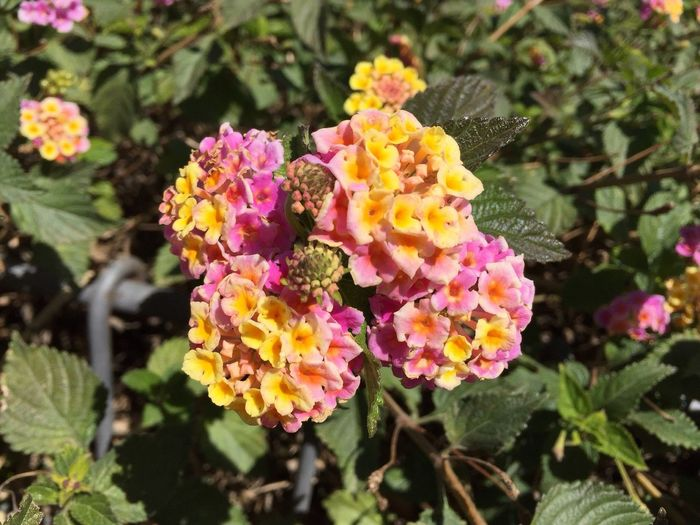 Flower Fragility Plant Lantana Freshness Lantana Camara Beauty In Nature Nature Blooming Close-up Leaf Multi Colored Petal Flower Head Growth Yellow Outdoors Day No People Millennial Pink EyeEmNewHere