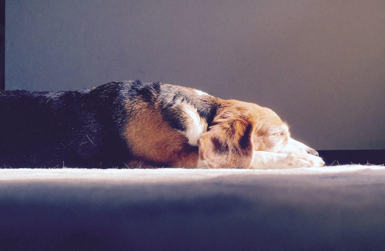 Dog Resting On Floor Against Wall