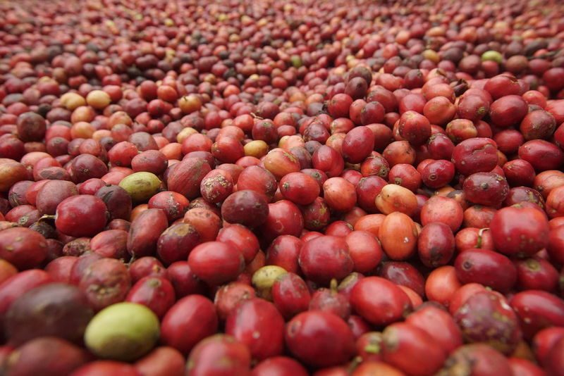 Coffee, plant, Red Agriculture Nature Close-up No People Lombok Island DELTA API Rumahalir NTB