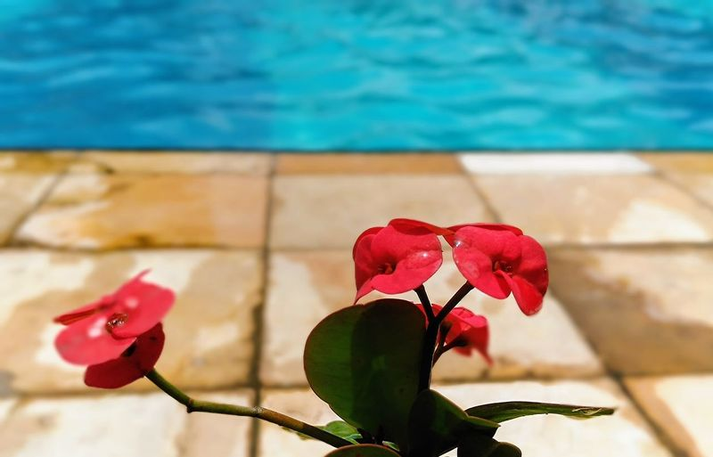 red flowers against a blue swimming pool Flower Head Flower Water Red Swimming Pool Petal Pink Color Sunlight Close-up Plant Single Rose Blooming In Bloom Rose - Flower Bud Botany Blossom Pollen Single Flower Fragility Sepal