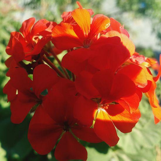 Red Flower Red Flower 🌸flower🌸 🌷 Flowers 🌹 ❤❤ ⚘🌷 Beautiful Flowers 🌸 🌸🌸🌷 ❤️❤️😍😍 🌸 Nature 🌼flowers🌼 ⚘🌼🌷🍀🌿🌹💐🌸 🌸Nature🌸 EyeEm Selects Amira💘 Flowers Nature Photography Beautiful Nature Nature Collection Nature Photograhy Beautiful ♥ Beautiful 🌹🌹🌹🌹🌹(^_-) 🌹 🌹🌷 🌷 💐 💐 Nature