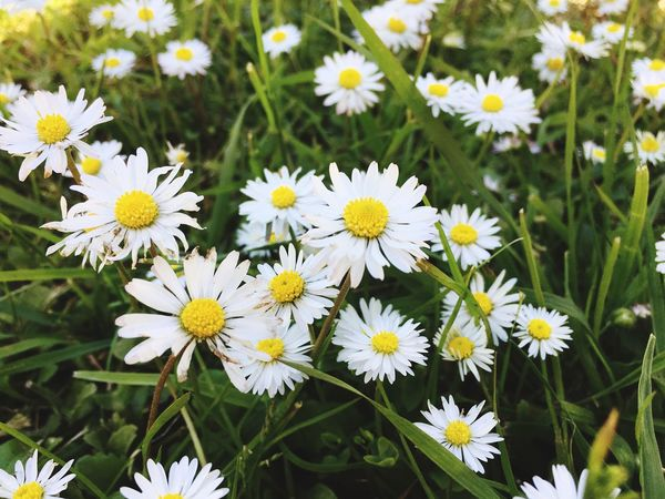 Flower Petal Freshness Fragility Nature Flower Head Beauty In Nature Daisy Growth Plant White Color Blooming Day Close-up Yellow Outdoors No People Osteospermum
