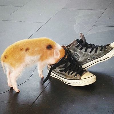 Pet Minipig Shoes Apartment Playtime Taking Photos Catsanddogs