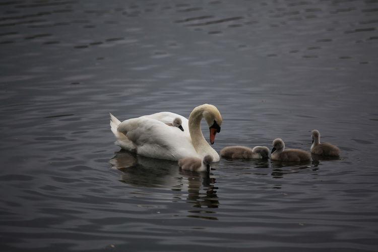 signet on mums back Swan Signets Lake Birds Bird Watching Water Cygnet Waterfront Young Bird