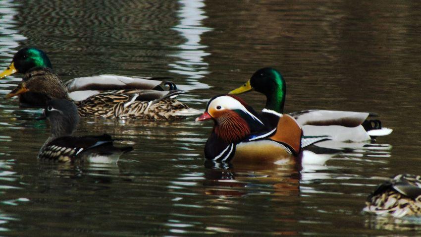 Ducks Duck Nature Animals Playing With The Animals Hello World EyeEm Nature Lover OpenEdit Taking Photos Water