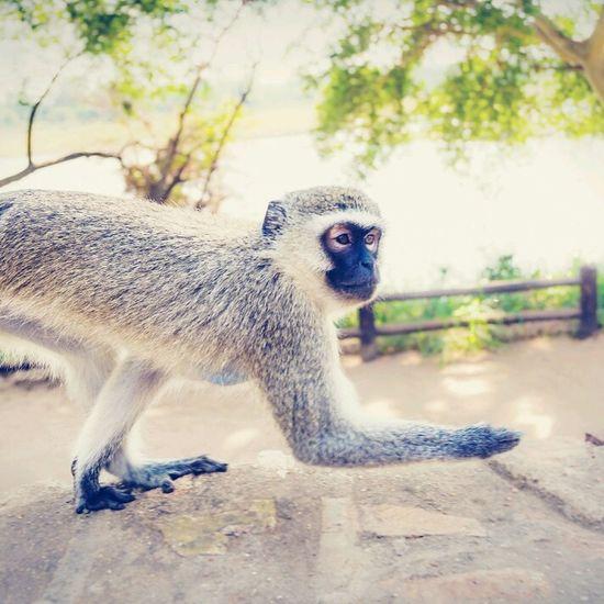 Animals Monkey Moving Wildlife