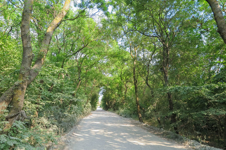 thick overgrown trees over the road Plant Tree Direction The Way Forward Growth Forest Green Color Road Nature Footpath Land Beauty In Nature Day Tranquility Diminishing Perspective Lush Foliage No People Transportation Foliage Sunlight Outdoors WoodLand Tree Canopy