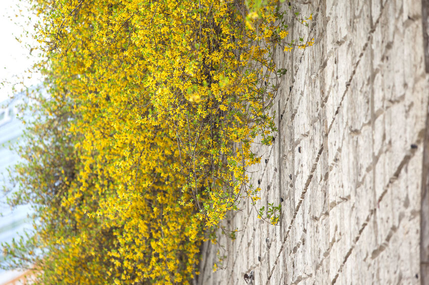 Abundance Beauty In Nature Blooming Blossom Botany Change Close-up Day Flower Forsythia Fragility Freshness Green Green Color Growing Growth In Bloom Nature No People Outdoors Plant Season  Spring Time Wall Yellow