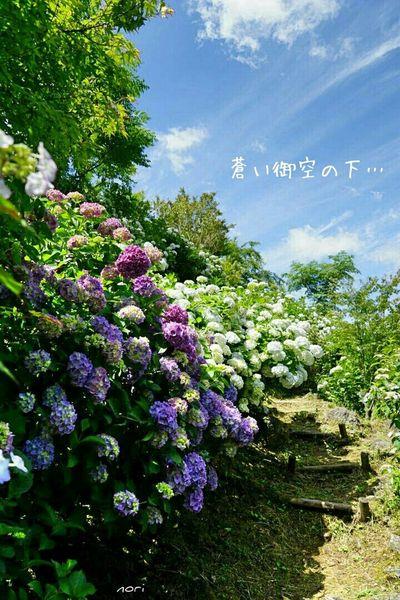 Beautiful blue sky under ... 妄想ふぇち あじさい Hydrangea 御空ふぇち 同じ空の下 EyeEm Nature Lover Sky Collection Flower Collection 紫陽花2015Photo Kagoshima
