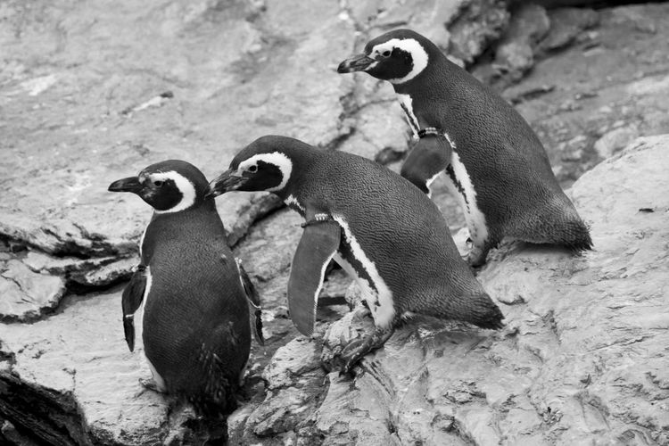 Magellanic Pensuins in Lisbon Magellanic Penguins Acquarium Animal Themes Animal Wildlife Animals Animals In The Wild Aquarium Aquatic Mammal Bird Black And White Day Group Of Animals Magellanic Penguin Magellanicus Nature No People Oceanarium Penguin Penguins Three Animals Vertebrate Young Bird