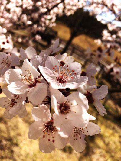 Spring Flower すももの花