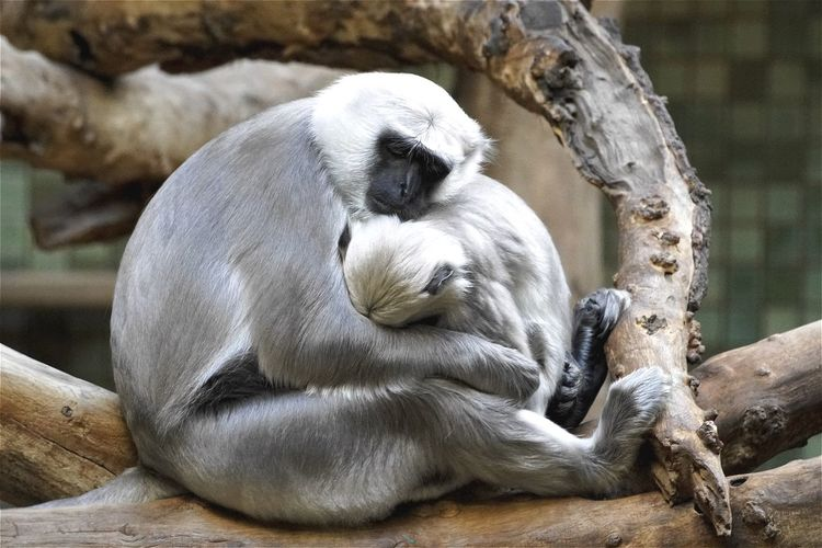 Gray langurs sleeping on branch at berlin zoological garden