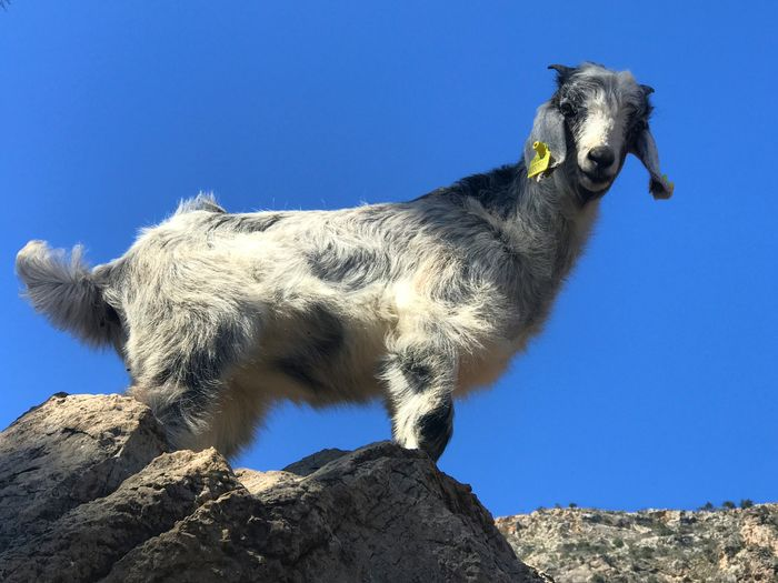 Goat Sky Clear Sky Animal Nature One Animal Animal Themes Blue Low Angle View No People Mammal Day Vertebrate Domestic Animals Pets Domestic Land Sunlight Animal Wildlife Outdoors Tree