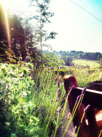 Lavender Sunlight