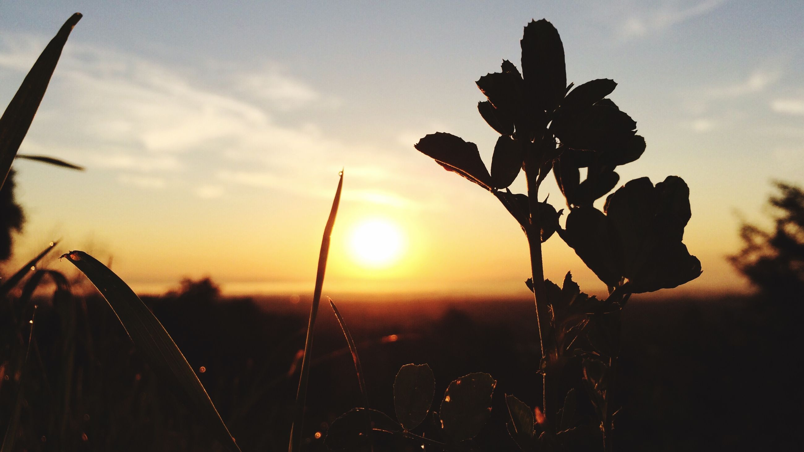 sunset, growth, plant, sky, nature, beauty in nature, close-up, focus on foreground, sun, stem, tranquility, field, leaf, scenics, silhouette, freshness, fragility, orange color, sunlight, tranquil scene