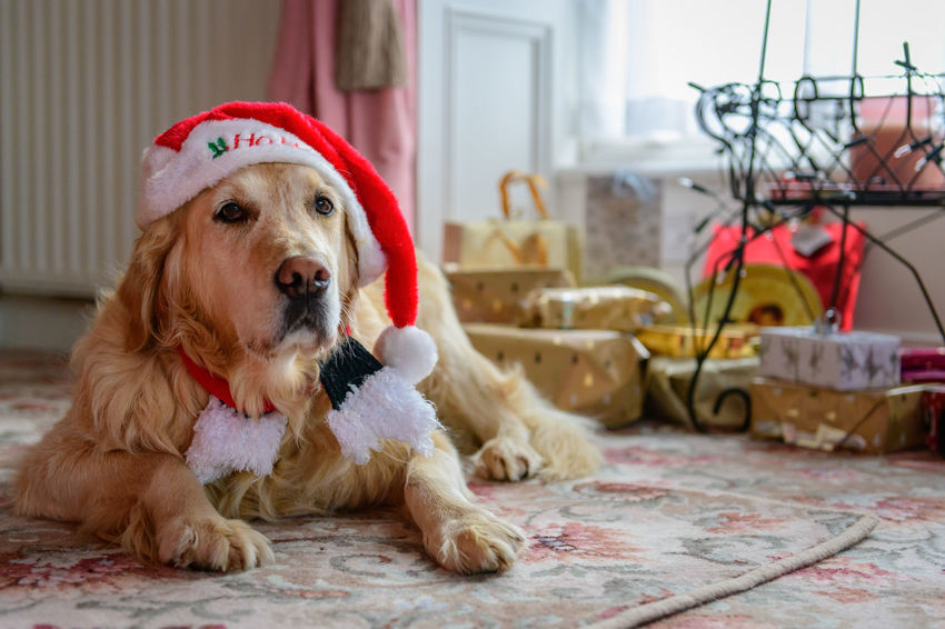 Season's greetings from Megan Buone Feste Christmas Christmas Presents  Dogs Of EyeEm Golden Retriever Happy Christmas Merry Christmas! Christmas Dog Christmas Retriever Dog Dogs Of Christmas Dogs Of Winter Goldenretriever Retriever Retriever In Christmas Hat Retrieversofinstagram Santas Hat Seasons Greetings