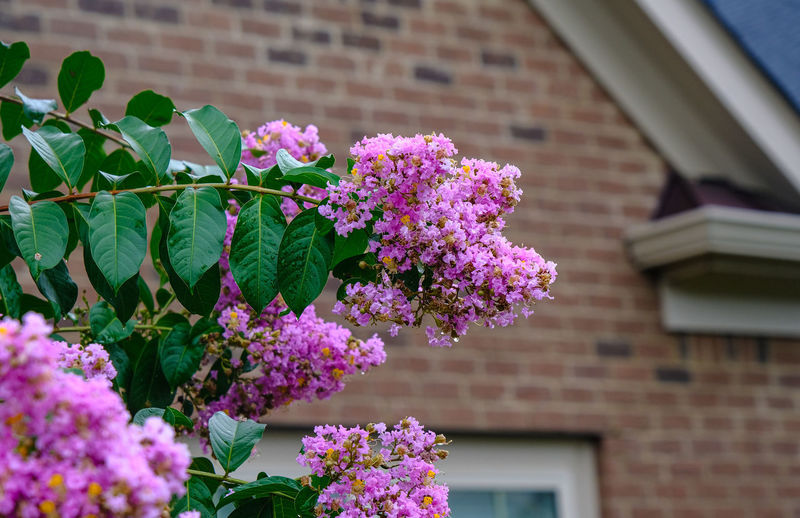 Close-up of pink flowering plant against building