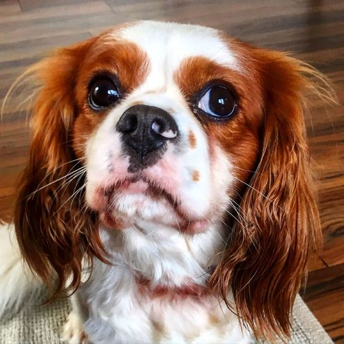 Domestic Animals Dog Pets Looking At Camera Animal Hair Beauty In Nature One Animal Whisker Brown Close-up
