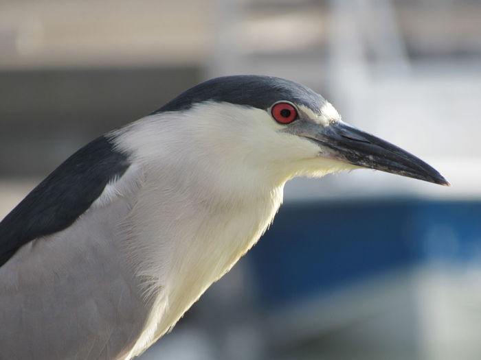 Beauty In Nature Black Crowned Night Heron Close-up Focus On Foreground Gulf Of Mexico Red Eye Sea Bird Selective Focus Eyeem Collection