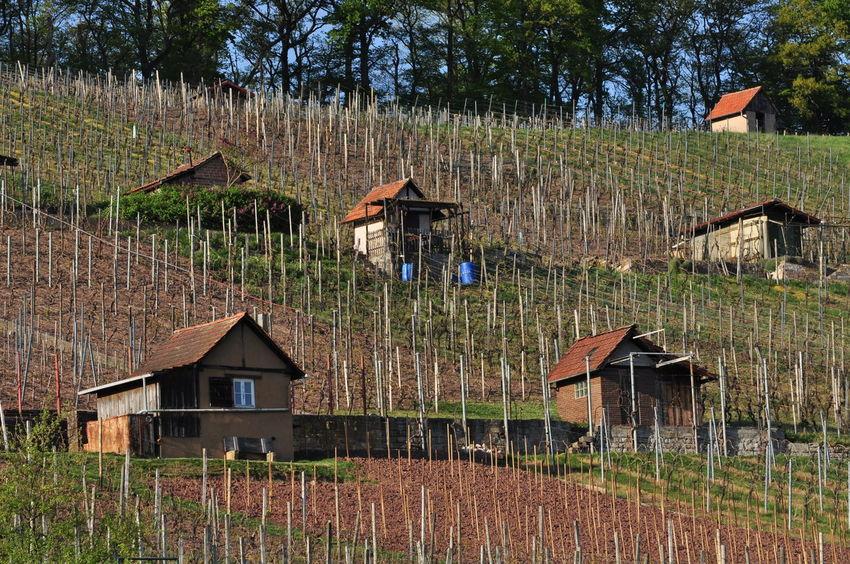Baden-Württemberg  Hütte Agriculture Cabins  Garden Shack Hut No People Outdoors Rural Scene Traditional Cabins Vineyard Vineyard Huts Viniculture