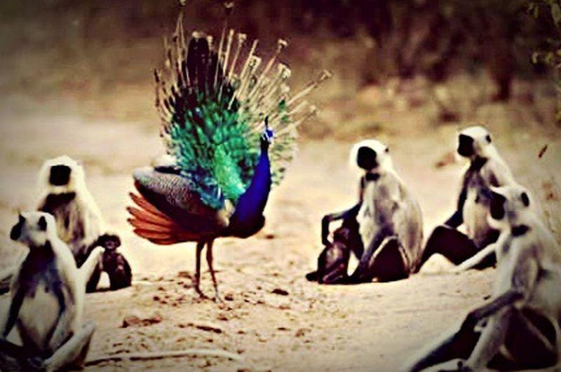 Dancing peacock _monkeys audience.
