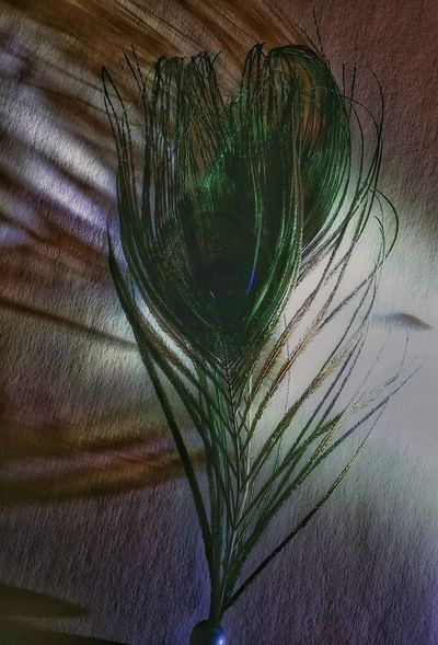 AntiM Backgrounds Beauty In Nature Close-up Day Feather  Feather Of A Bird Fragility Growth Indoors  Nature No People Peacock Feather Pfauenauge Tree