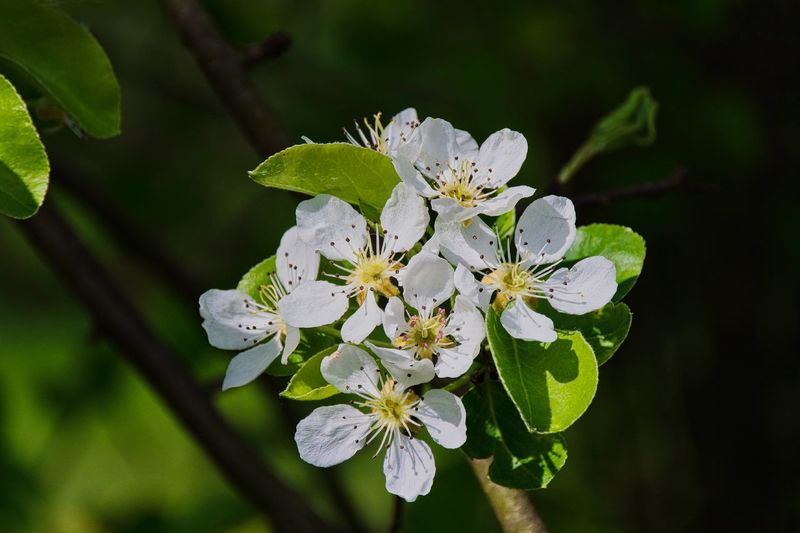 Obstbaumblüte Apple Blossom Beauty In Nature Birnenblüte Blossom Botany Branch Close-up Day Flower Flower Head Focus On Foreground Fragility Freshness Growth Nature No People Outdoors Petal Springtime Stamen Tree White Color Wilde Blüte