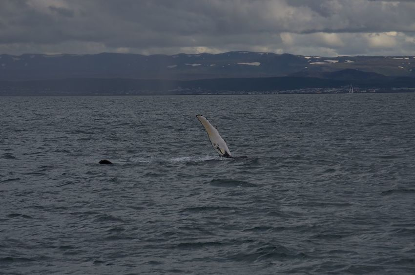 Iceland Ocean View Whale