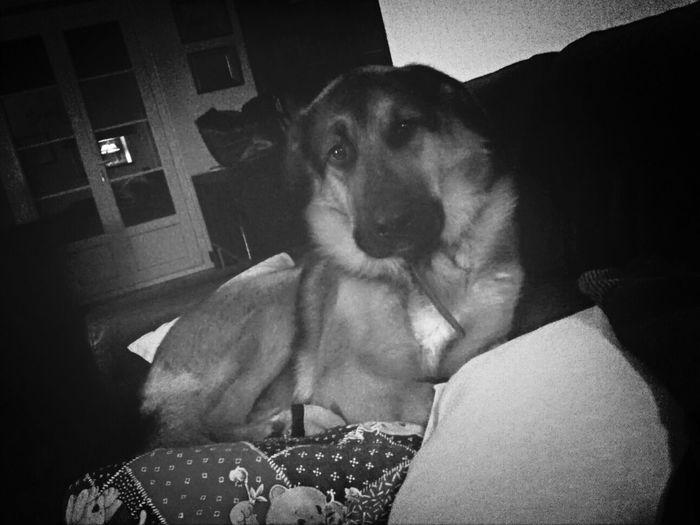 Babywolf Mydog
