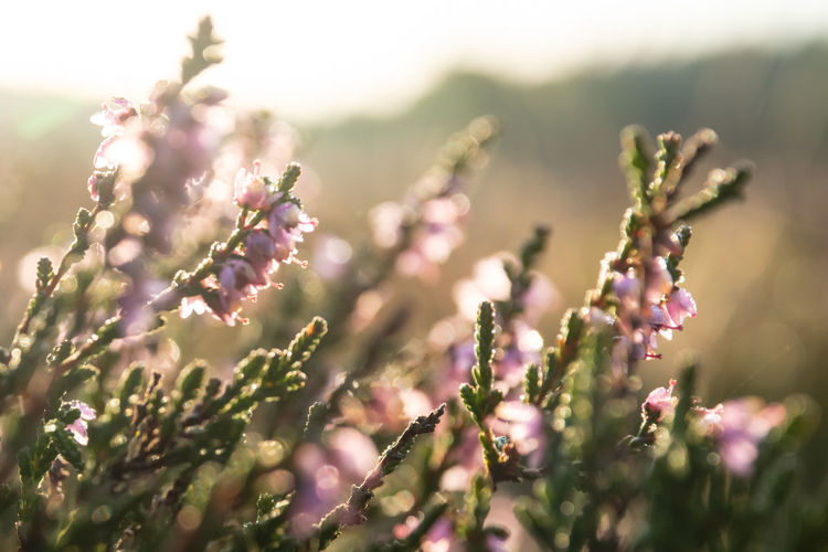 Nature Beauty In Nature Blooming Close-up Day Flower Flower Head Flowering Plant Focus On Foreground Fragility Freshness Growth Heather Blooms Dusk My Quirky Style New Hersey USA Heather Flower Nature No People Outdoors Plant Purple Selective Focus Springtime Summer Vulnerability  Wild Wild Nature