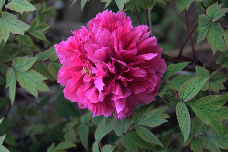Beauty In Nature Flower Fragility Freshness Giardino Nature Peonia. Pink Color