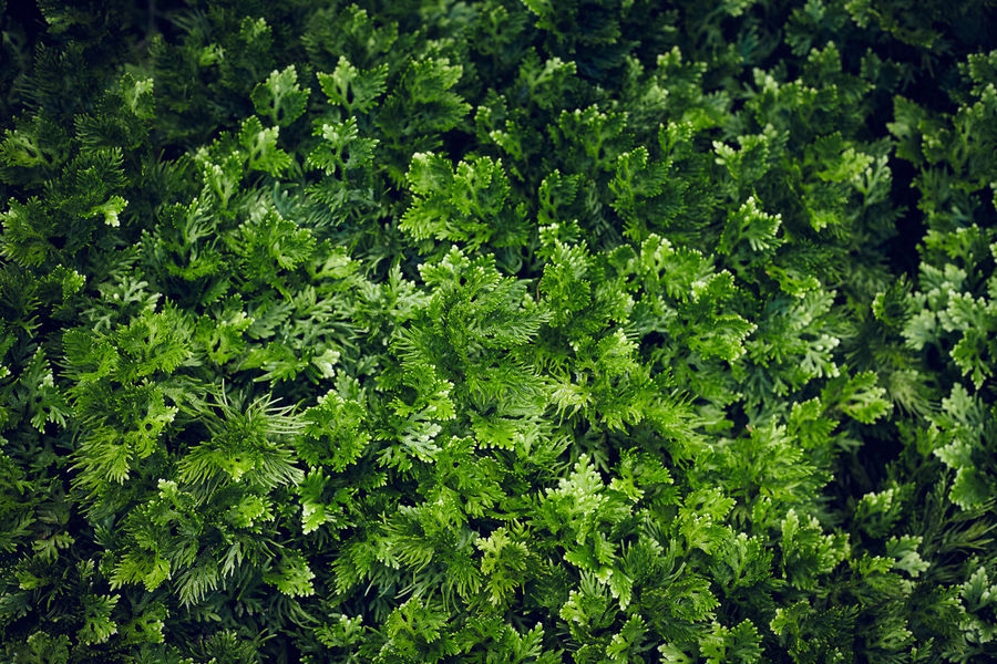 Spike moss (Selaginella) Plant Spike Moss Day Freshness Garden Plants Green Color Growth Nature No People Outdoors Selaginella