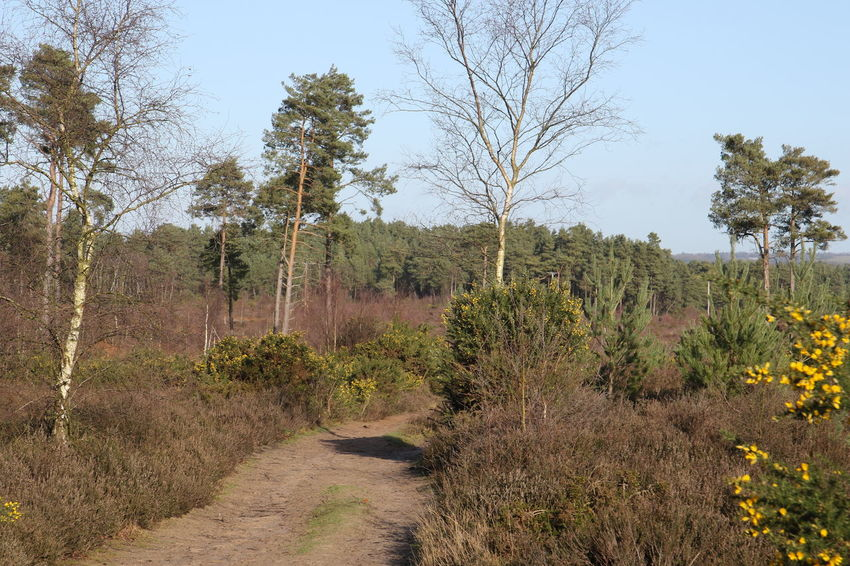 Gorse Surrey Thursley Common Bright Day Day Forest Growth Landscape Nature No People Outdoors Outdoors Photograpghy  Pathway Plant Sky Surrey Countryside Track Tree